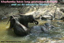 adoption, pregnancy, elephants